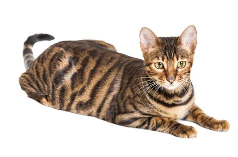 A List of Tabby Cat Breeds You'll Certainly Love