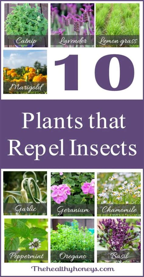 house plants that repel bugs top 10 plants that repel unwanted insects the healthy honeys