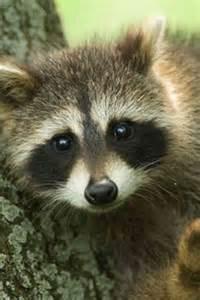 Cute Baby Animal Raccoon