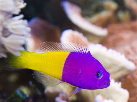 saltwater fish angelfish other saltwater fish for sale petes fish place
