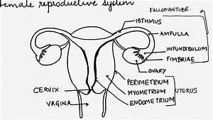 Human Reproduction  Female Reproductive System With