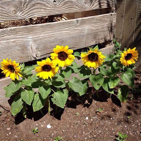 Love These Dwarf Sunflowers Along The Garden Bin They