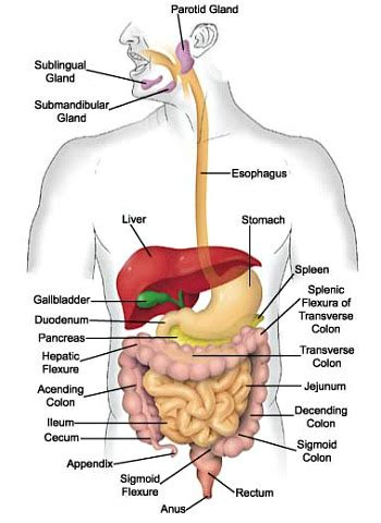 The diagram shows five levels of organization in a multicellular organism. Right Upper Quadrant of the Abdomen |Boundaries, Organs And Causes of Pain