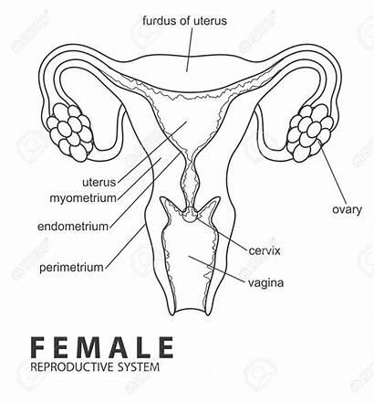 Reproductive Female Drawing Vagina Anatomy System Sistema