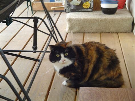 calico kitten names cat names calico page 2 female cat names calico page 3 female cat images frompo