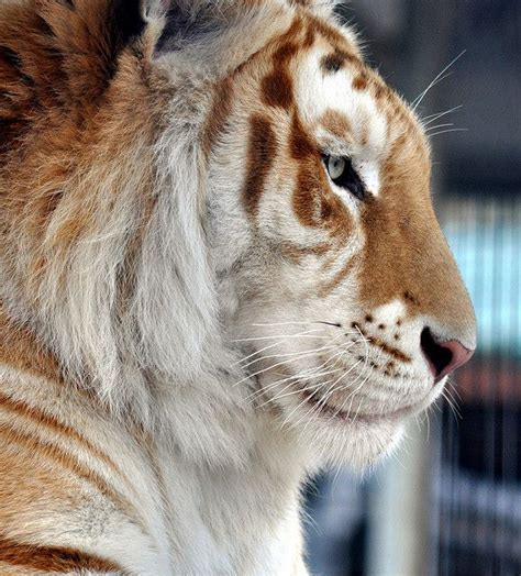 Best Images About Tigers Pinterest Lion White