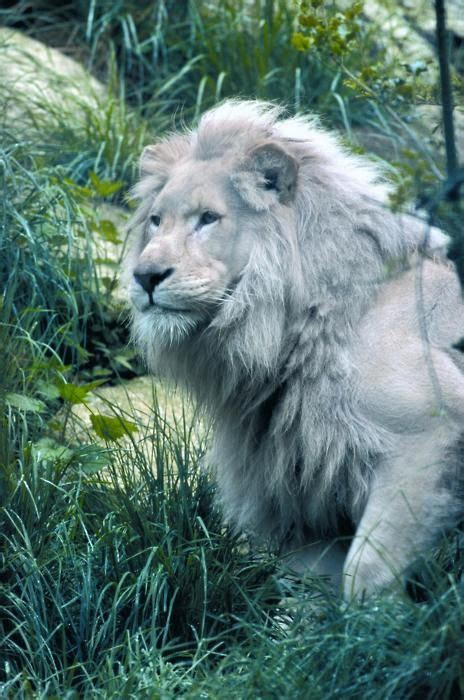 ideas  white lions  pinterest kitty king
