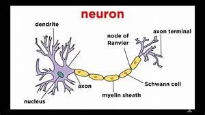 Types Of Tissue Part 4  Nervous Tissue