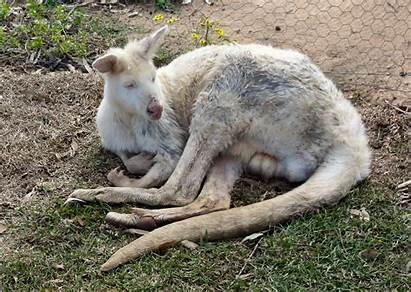 Albino Kangaroo Things Animals Hunter Valley Fun