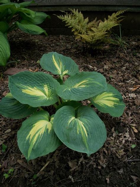 plantain lily  plants kaw valley greenhouses