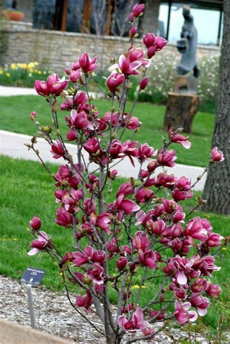 magnolia tree magnolia jane house remodel ideas pinterest trees magnolia trees