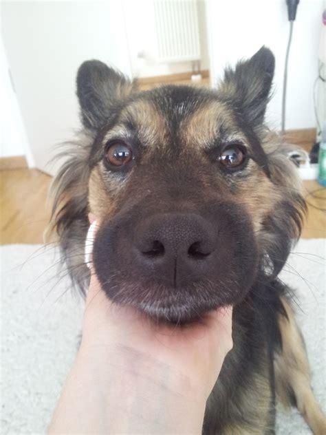 hund hat sehr geschwollenen bereich  der mundgegend