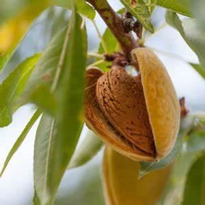 Baum Pflanzen Anleitung : mandelbaum prunus dulcis schneiden pflege anleitung ~ Frokenaadalensverden.com Haus und Dekorationen
