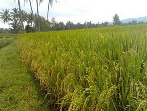 gambar tumbuhan padi daunbuah com