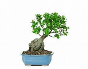 Bonsai Ficus Ginseng : caring for your ficus ginseng bonsai ginseng ~ Buech-reservation.com Haus und Dekorationen