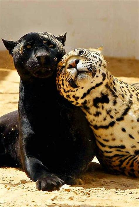 Jaguars Nature Unleashed Pinterest Annoying Friends