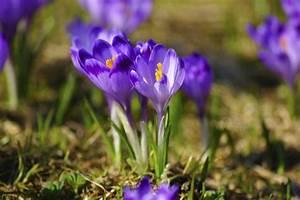 Wann Krokusse Pflanzen : krokusse pflanzen eleganz f r den garten und f rs zimmer ~ A.2002-acura-tl-radio.info Haus und Dekorationen