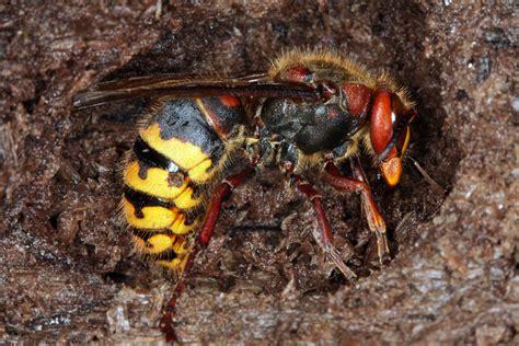 was machen wespen im winter so 252 berleben bienen und wespen den winter wildland stiftung bayern