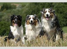 Hunderassen mit Bild von A bis Z