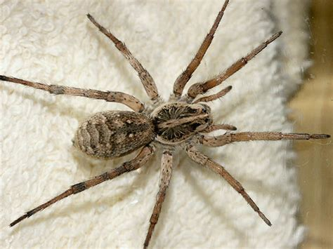 are wolf spiders dangerous survival skills guide to venomous spiders