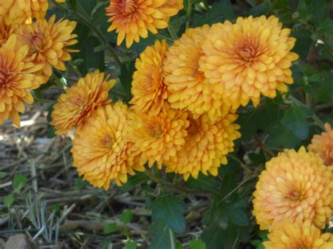 Lifespan Of Mums - How Long Do Chrysanthemums Last
