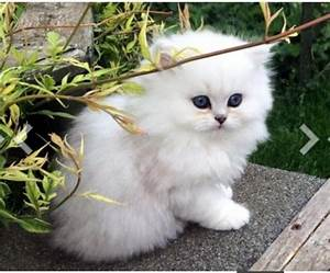 Wanted! Chinchilla/ White doll face Persian kitten for ...