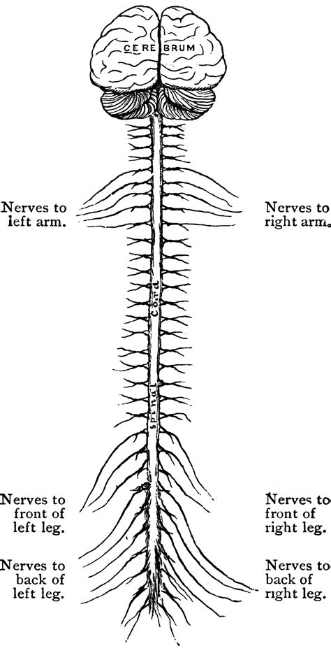 Central Nervous System | ClipArt ETC