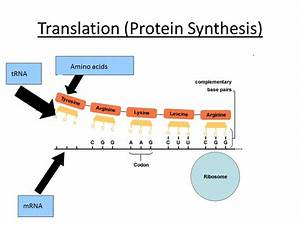 Transcription  U0026 Translation  A Level Biology