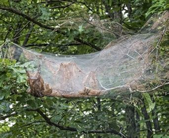 spider builds webs  trees    rid