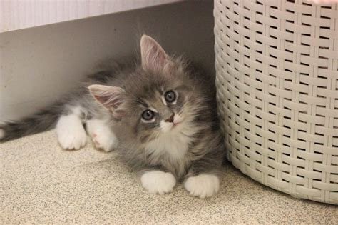 Kittens For Sale by Pedigree Maine Coon Kittens For Sale East