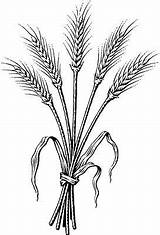 Wheat Coloring Clipart Clip Barley Bundle Tattoo Drawing Pages Dark Bing Spirituality Drawings Harvest Ii Grassroots Garden Printable Sheets Patterns sketch template
