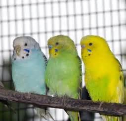 Female Budgie Parakeet