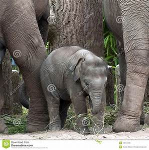 Baby Indian Elephant Royalty Free Stock Images - Image ...