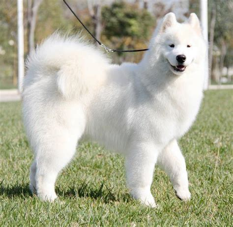 Does Samoyed Shed A Lot by Image Gallery Samoyed White