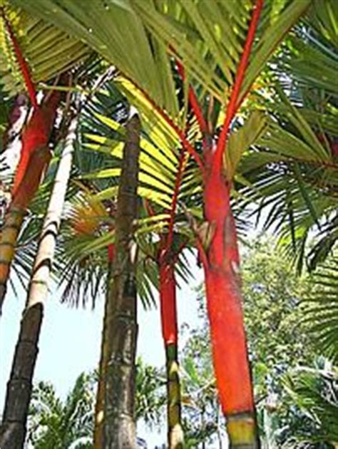Palmeira-laca - Cyrtostachys renda - Jardineiro.net
