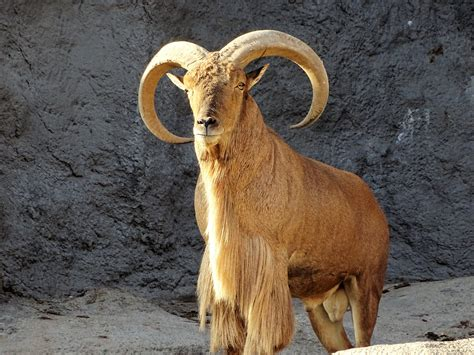 images nature hair animal cliff wildlife horn