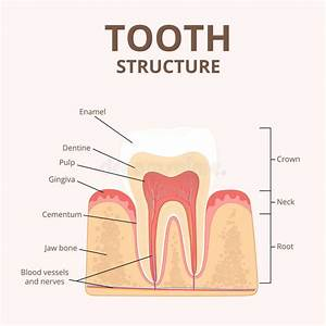 Structure Of Human Teeth Stock Vector  Illustration Of