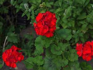 Top Red Annual Flowers For Your Garden