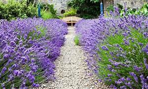 Plant De Lavande : lavendel hidcote und munstead groupon goods ~ Nature-et-papiers.com Idées de Décoration