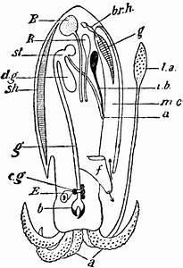 Cuttlefish Structure