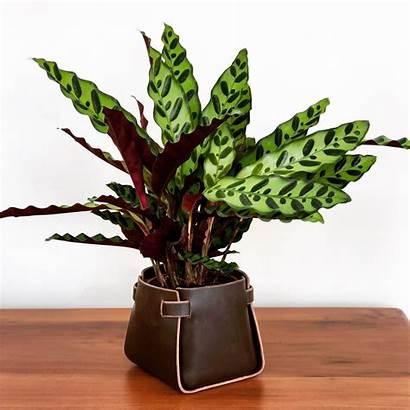 Calathea Plants Most Indoor Houseplants Care
