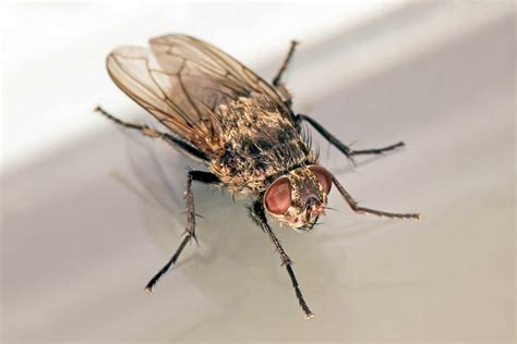 how does a house fly live how does a housefly live foundation pest