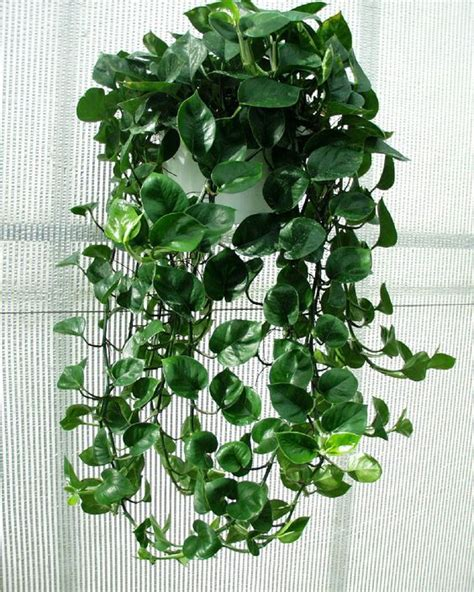 Philodendron  Plants Philodendrons  Pinterest Toilets