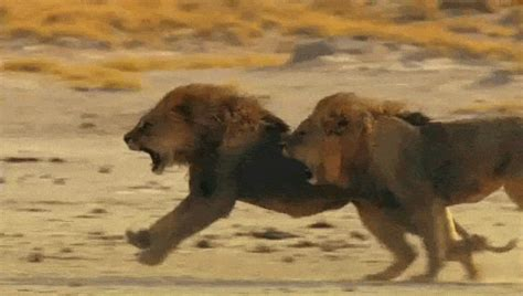 amazing animated lion gifs  animations