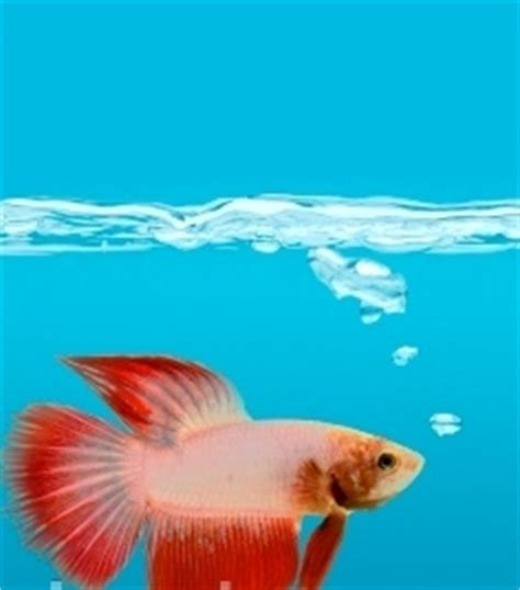 common types  betta fish diseases  pets central