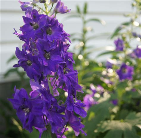 magic fountains blue with bees delphinium live plant 2 5 inch pot