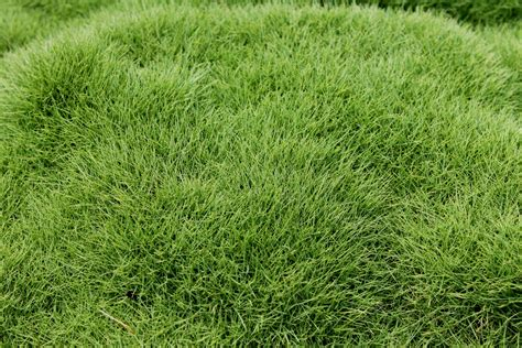 Buy No-mow Grass Plants Online 6 For
