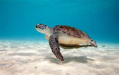 Turtle Sea Desktop Wallpapers Reptile Widescreen Pc