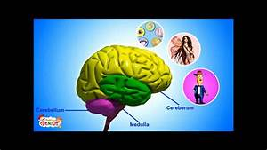 Our Brain - Human Anatomy -Lesson for Kids- School Science ...