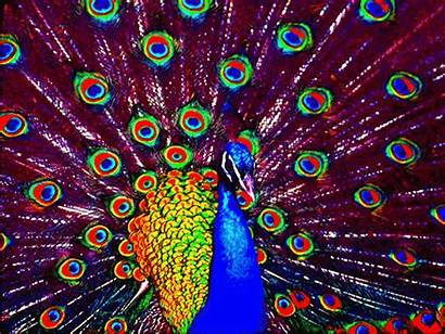 Peacock Optilux Multicolored Deviantart